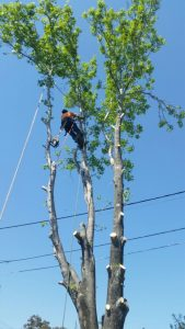 Tree Lopping Sans Souci
